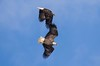 7K8A9005 (rpealit) Tags: scenery wildlife nature new york state bald eagles bird