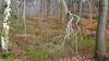 Branching Out (RD400e) Tags: canon eos 5d mk3 ef 2470l f28 gitzo bwpolariser silver birch trees tree woods walking