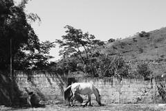 (Camila Iquiene) Tags: horse countryside animal blackandwhite pretoebranco cavalo interior 馬 白黒 白黒写真 田舎
