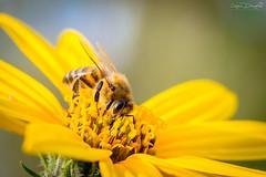 Beee (JDanyaloff) Tags: bee flower yellow macro macroworld nikon tokina d610 100mm summer