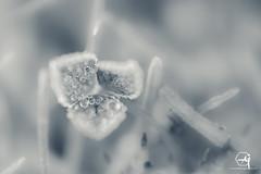 [EXPLORE] Gouttelettes glacées sur trèfle endormi. (Aurelynx (Aurelien Ghislain)) Tags: winter hiver pentax k5 pentaxk5 pentaxian macro macrophotographie macrophotography bonnette raynox 250dcr trèfle nature bnw black white noir et blanc noiretblanc blackandwhite ice goutte ball bulle bokeh deep filth dof gel