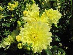 Dahlias (Hannelore_B) Tags: dahlien dahlias blumen flowers grugapark