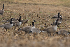 Greater White-fronted Goose (J.B. Churchill) Tags: birds cang gwfg garrett maryland places southoakland taxonomy waterfowl oakland unitedstates us