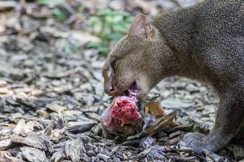 Bon appetit!  Jaguarundi
