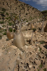 yem_1385 (Peter Hessel) Tags: yemen bottletree carst socotra soqotra jemen homhil dragonbloodtree dracaenacinnabari adeniumobesumsocotranum
