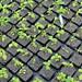 "Hydrangea macrophylla - Kordes Jungpflanzen • <a style=""font-size:0.8em;"" href=""http://www.flickr.com/photos/25397586@N00/18770022880/"" target=""_blank"">View on Flickr</a>"