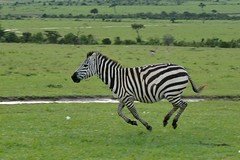 Cebra de Grant (Porschista) Tags: nationalpark kenya safari kenia masaimara cebra galope frica