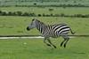 Cebra de Grant (Porschista) Tags: nationalpark kenya safari kenia masaimara cebra galope äfrica