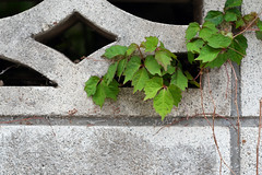 (Yorozuna / ) Tags: plant leaves japan wall tokyo leaf ivy      blockfence  blockwall     shinjukuward  wakamatsukawada pentaxautotakumar55mmf18