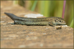 Common Lizard (image 2 of 3) (Full Moon Images) Tags: nature reptile wildlife norfolk reserve lizard common rspb strumpshaw