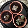 Baby Jades repotted (heatherdawnplants) Tags: plants jadeplant succulents crassula houseplants ovata propagation