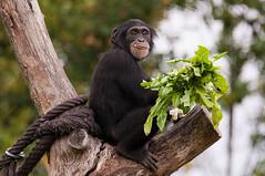 You got stuff on your lip (Sebastian Niedlich (Grabthar)) Tags: germany deutschland zoo monkey nikon chimp leipzig ape chimpanzee tamron affe schimpanse menschenaffe d90 0715 july15 zooleipzig grabthar sebastianniedlich nikond90 pantroglodytesverus westafrikanischerschimpanse leipzigzoo westernchimpanzee westafricanchimpanzee westlicherschimpanse tamronsp150600mmf563divcusd