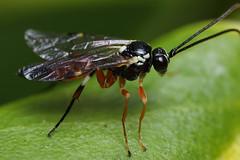 Ichneumon wasp (Lord V) Tags: macro bug insect wasp ichneumon diplazon laetatorius diplazontinae