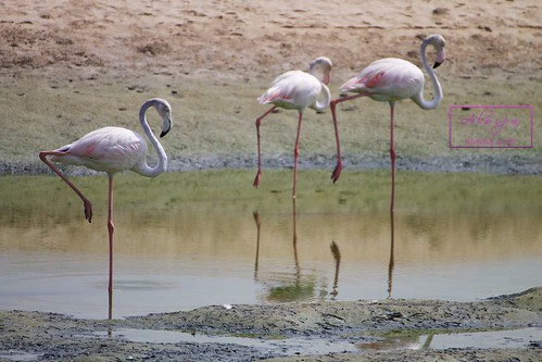 "Flamingos at Dubai - Ras al khor wildlife sanctuary • <a style=""font-size:0.8em;"" href=""http://www.flickr.com/photos/104879414@N07/20044037050/"" target=""_blank"">View on Flickr</a>"