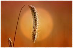 the harvest can begin (delpax) Tags: delpax fuji fujinon xt1 2090 awn granne getreide holgerniemann