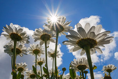 A glimpse of summer (Getty listed) (Alan10eden) Tags: flowers ireland summer sun daisies canon daylight warm day bright air sigma sunny bluesky fresh daisy sunburst northern fluffyclouds 70d 1770mm backlitflowers alanhopps