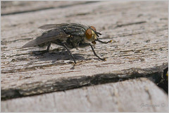 Photo of COMMON FLY by Philip Gott (2)