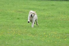 on the run ((fiona) thank you for your visit) Tags: dog beautiful beauty goofy animal puppy fun happy hope golden funny faith belief happiness retriever goldie