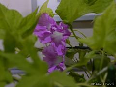 (S_Hosomi) Tags: flowers plants japan august   convolvulaceae 2015 ipomoea   solanales
