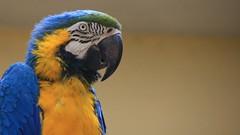 Talkative featherling ... (buidl-lemmy) Tags: zoolodz zoo bird colorful blue yellow araararauna gelbbrustara ara blueandyellowmacaw