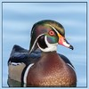 Wood Duck (Ed Sivon) Tags: american america canon nature wildlife water wild western white southwest duck ducks desert clarkcounty clark color flickr vegas green bird nevada nevadadesert park