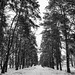 #canon #canon1200D #canonphotography #canoneos #szombathely #hungary #forest #winter #snow #blackandwhite #blackandwhitephotography #bnw #nocolor #eos #wood #park #cold #freezy