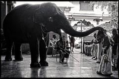 Elephant blessing (travelben) Tags: udupi malabar coast india asia karnataka inde inside temple elephant hindu hinduism street bw nb khisna southindia nature animal religion blessing holy child traditionnel asie traditional asian éléphant elefante