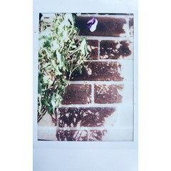 Chilli plant during winter (franhinchliffe) Tags: filmisnotdead shootfilm instantprint instaxmini90 instax fujifilminstax fujifilm 35mmfilmphotography 35mmphotography 35mmphoto 35mmfilm 35mm analogproject analogphotography analogphoto analog filmphoto filmphotography film photography photo