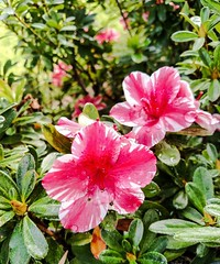 Azaleas (Thad Zajdowicz) Tags: flower plant outdoor foliage blossom bloom color pink nature beauty bokeh depthoffield zajdowicz 366 365 pasadena california cellphone motorola droid turbo availablelight photoshopexpress smartphone android mobile cameraphone outside