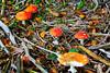 Fliegenpilze (kathinka68) Tags: fliegenpilz herbst wald waldboden