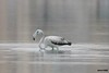 It is a colored photo!! (Amro Afifi) Tags: flamingo colored amroafifi amazing photooftheday