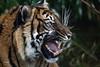 Sumatraanse tijger (K.Verhulst) Tags: sumatraansetijger sumatrantiger tigers tijgers tiger tijger cats cat blijdorp blijdorpzoo diergaardeblijdorp rotterdam