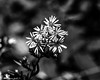Tiny Bundle Of White Flowers (that_damn_duck) Tags: nature flower wildflower petals blooming bw blackwhite