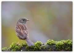 Accenteur mouchet (guiguid45) Tags: nature sauvage oiseaux bird passereaux loiret d810 nikon 500mmf4 accenteurmouchet dunnock accenteur prunellamodularis