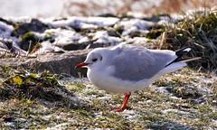 zu kalt brrrr (sabine1955) Tags: möwe gull winter eis schnee snow ice vogel bird tier animal outdoor