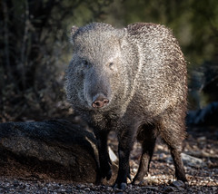 Winkr (Portraying Life, LLC) Tags: unitedstates arizona wild desert sonoran animal ventanacanyonwash