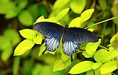 Mariposa negra grande, Museo de la Ciencia de Granada. (eustoquio.molina) Tags: mariposa negra grande museo ciencia granada