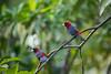 Pair of Crimson-Collared Tanagers (jeff_a_goldberg) Tags: laquintadesarapiqui sarapiqui winter crimsoncollaredtaninger costarica naturalhabitatadventures nathab ramphocelussanguinolentus tanager heredia cr