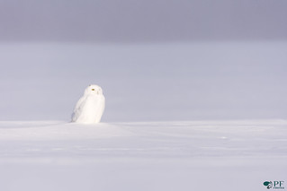''Mirage, mirage!'' Harfang des neiges-Snowy owl