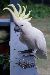 thingy the bush cockatoo (Seakayem) Tags: sony slt a99 alpha fullframe minolta 100mm f28 macro af australia act canberra australiancapitalterritory belconnen cockatoo sulfercrestedcockatoo galerita cacatua parrot bird white yellow crest wild backyard