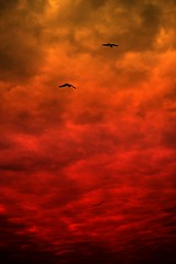 IMG_7459 Sunset with red clouds (Rodolfo Frino) Tags: ciel gull seagull cloud clouds cloudy sunset flight flying natural natur nature naturaleza weather