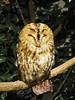 Owl Cafe (Laika ac) Tags: owlcafe harajuku japan tokyo