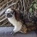 Geoffroy's tamarin monkey - wild titi monkeys gamboa panama pandemonio 2017 - 15