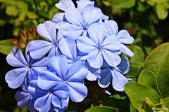 (maren_key) Tags: nature flowers flower blue platinumheartaward