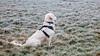 Charlie 39 weeks old (Mark Rainbird) Tags: puppy dog powershots100 fog canon retriever ufton uk charlie uftonnervet england unitedkingdom gb