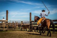 cattle-107 (Colin Remas Brown) Tags: red bakersfield california unitedstates windwolves cattlebranding cattle branding cowboy cowboys ranch lasso calves californiacowboy horse horses livestock roping brandingiron