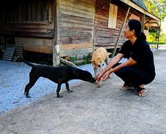 ,, Little Stubby, Pumpkin & No# 1 Wife ,, (Jon in Thailand) Tags: street streetphotography streetphotographyjunglestyle no1wife thaifemale wife pumpkin littlestubby dog dogs k9 k9s buildings jungle nunsplace road friends cinderblockwall