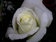 Natural Beauty (neb_psych) Tags: white flower rose tag3 taggedout tag2 tag1 gift valentinesday