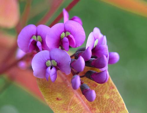 Flor de enredadera (247)