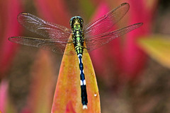 Iridescent precious wings (bocavermelha-l.b.) Tags: artnouveau libellulidae 接写 inbali spiketail foundinnusadua dragonfly–libélula south–china–sea inindonesia shootingwithd70s マクロ撮影 超接写